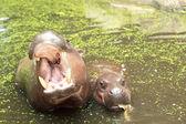 Hippo portrait in the nature — Stock Photo