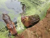 Hroch portrét v přírodě — Stock fotografie