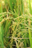Field of gold rice in nature — Foto Stock