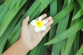 Frangipani flower beauty on hand — Foto Stock