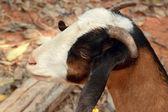 Cabra de primer plano en la naturaleza — Foto de Stock
