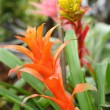 Bromeliad flowers in the garden — Stock Photo #46804165