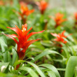 Bromeliad flowers in the garden — Stock Photo #46890863