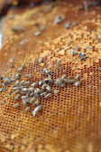 Fresh honey in the comb - background  — Foto de Stock