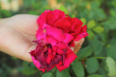 Red rose in the hand — Foto Stock