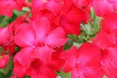 Close up of raindrops on pink impala lily — Stock Photo