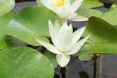 White lotus flowers in the nature — Stockfoto