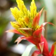 Bromeliad flowers in the garden — Stock Photo #50389103