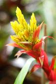 Bromeliad flowers in the garden — Stock Photo