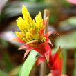 Bromeliad flowers in the garden — Stock Photo #50514983