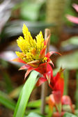Bromeliad flowers in the garden — Stock Photo