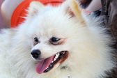 Portrait of a pomeranian dog — Stock Photo