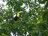 Perched Toucan — Stock Photo