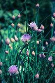 Purple chive flower — Stock Photo