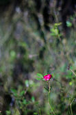 Pink mini rose — Stock Photo