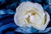 Rosa bianca — Foto Stock