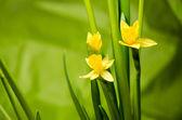 Yellow daffodil — Stock Photo