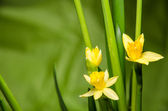 Yellow daffodil — Foto Stock