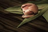 Tulip — Zdjęcie stockowe