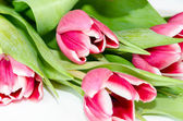 ροζ τουλίπες — Φωτογραφία Αρχείου