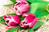 Pink tulips — Stock Photo