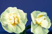 White daffodil — Stock Photo