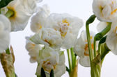 Narciso bianco — Foto Stock