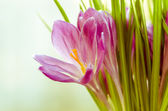 Crocus — Stock Photo