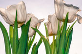 White tulip — Stock Photo