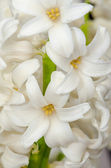 White hyacinth — Stock Photo