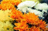 Colorful chrysanthemum — Stock Photo