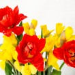 Yellow daffodil and red tulip — Stock Photo #44084085