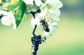Bee on white flower — Stock Photo