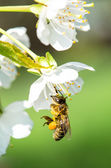 Bee in white flower — Stock Photo
