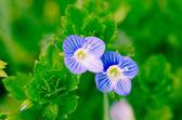 Modré květy — Stock fotografie