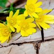 Bunch of yellow kingcup flowers — Stock Photo #44370209
