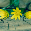 Bunch of yellow kingcup flowers — Stock Photo #44370243