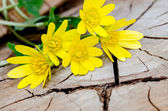 Bunch of yellow kingcup flowers — Stock Photo