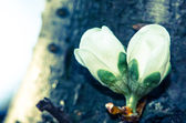 White bud on wooden trunk — Stock Photo