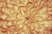Orange chrysanthemum detail — Stock Photo