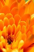 Orange chrysanthemum detail — Stock Photo