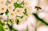 White flowers and bee — 图库照片