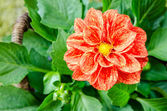Red orange flower — Stock Photo