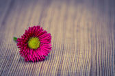 Pink daisy — Stock Photo
