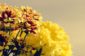 Yellow chrysanthemum flower — Stock Photo