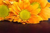 Orange chrysanthemum flower — Stock Photo