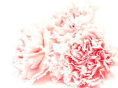 Three pink isolated carnations on white background — Stock fotografie