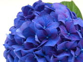 Isolated blue hydrangea flower on white background — Stock Photo
