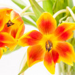 Closeup of open red yellow open tulips — Stock Photo #37571037