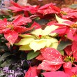 Group of Christmas red and yellow poinsettia — Stock Photo #40969897
